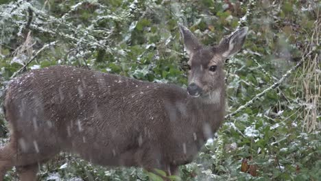 Snow-Falling-On-Deer